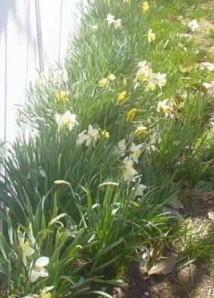 My cousin, Ruth, took this picture of the daffodils by her garage.  Her picture inspired this post.