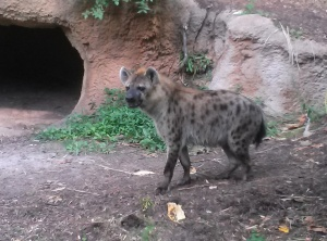 The hyena didn't seem to be laughing...he was stalking something while we were watching him.  Very intense dude.